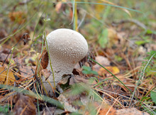 Poisonous Mushrooms In The Wild Gray Grow In The Autumn Forest