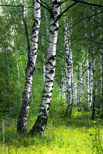 White birch trees with beautiful birch bark in a birch grove. Vertical view.
