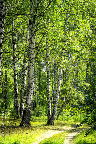 Papiers peints Bosquet de bouleaux White birch trees with beautiful birch bark in a birch grove. Vertical view.