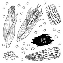 Hand Drawn Vegetable Set Of Corn Cobs And Grain. Vegetable Isolated On White Background With Label. Design For Shop, Market, Book, Menu, Banner. Outline Ink Style Sketch. Vector Coloring Illustration.