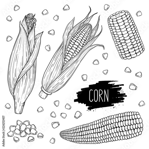 Fotografia Hand drawn vegetable set of corn cobs and grain