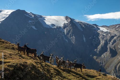 Chèvres sur le plateau d' Emparis , en alpage dans les Hautes-Alpes face au glacier de la Girose