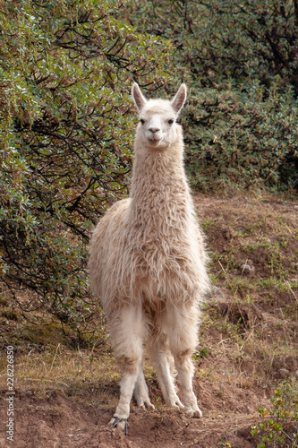 Staande foto Lama Cute white llama staring on roadside in South America