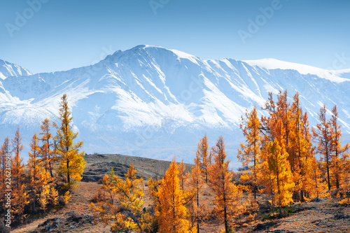 Papiers peints Montagne Snow-covered mountains and autumn forest in Altai Republic, Siberia, Russia