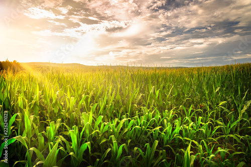 Keuken foto achterwand Platteland Beautiful afternoon sunset over the corn field in Tennessee