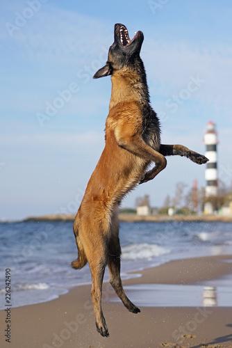 Fotografie, Obraz  Young active Belgian Shepherd dog Malinois jumping up on a beach near a sea