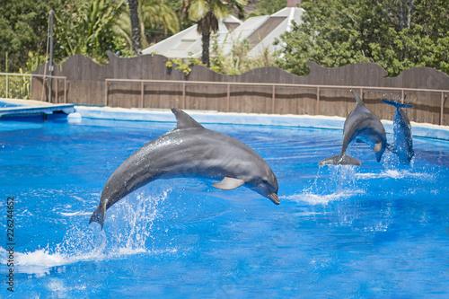 Foto op Plexiglas Dolfijnen Dolphins show in a pool.