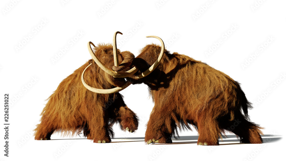 woolly mammoth bulls fighting, prehistoric ice age mammals isolated with shadow on white background (3d rendering)