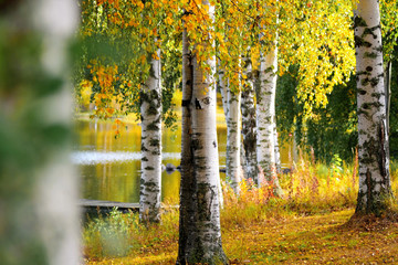 Panel Szklany Do salonu birches in fall by lake