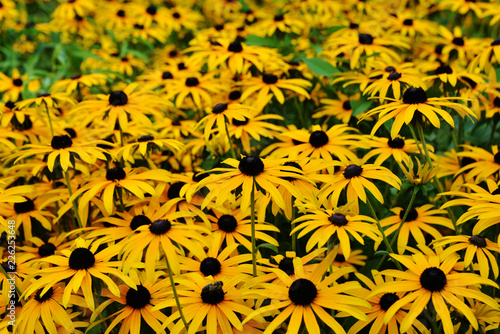 Valokuva  Floral background with bright yellow daisies