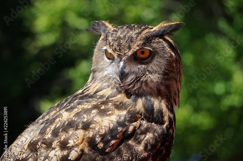 Keuken foto achterwand Uil Close-up of a young Eurasian eagle-owl (Bubo bubo) -- one of the largest species of owl.