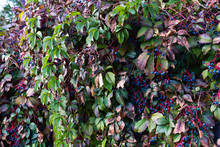 Wall Of Wild Ivy Plant With Bl...