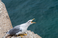 Seagull Squawking With Open Beak