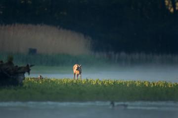 Obraz na płótnie Canvas European roe deer, capreolus capreolus