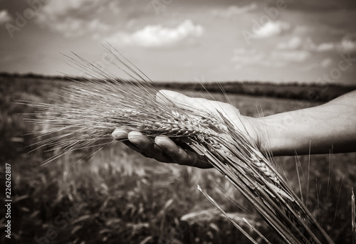 Fotografia  human hand holds wheat spikelets at harvest time against the background of a whe