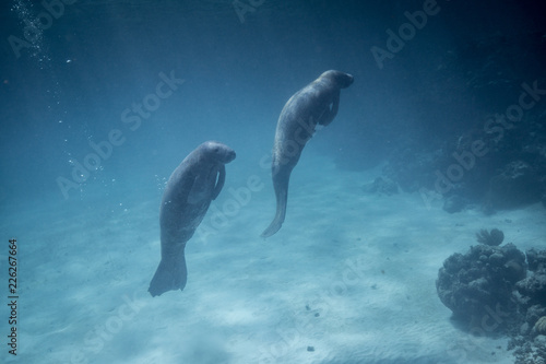 Manatees in Belize Tablou Canvas