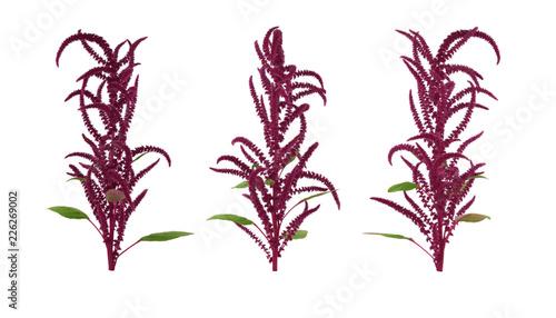 Isolated Amaranth (Amaranthus) Plant. Wallpaper Mural