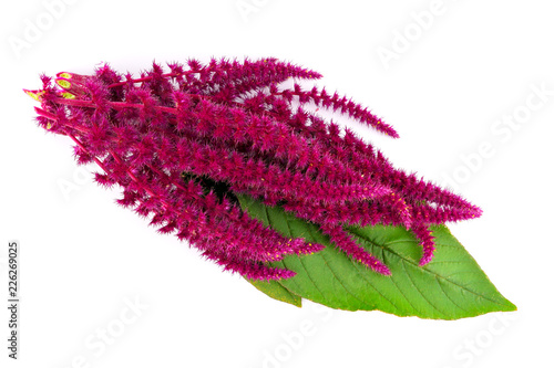 Isolated Amaranth (Amaranthus) Plant. Canvas Print