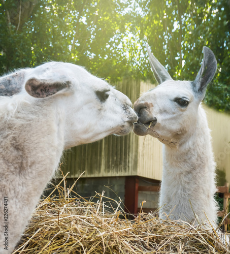 Staande foto Lama Two llamas kissing munching hay feeders outdoor.