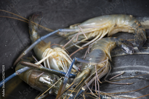 Fresh shrimp or prawn in plastic basin wait for cooking