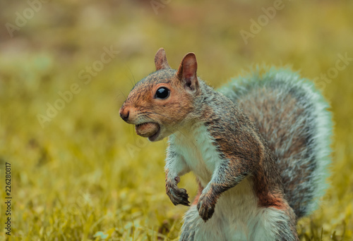 Funny gray squirrel (Sciurus carolinensis) gets caught with a large nut in his mouth