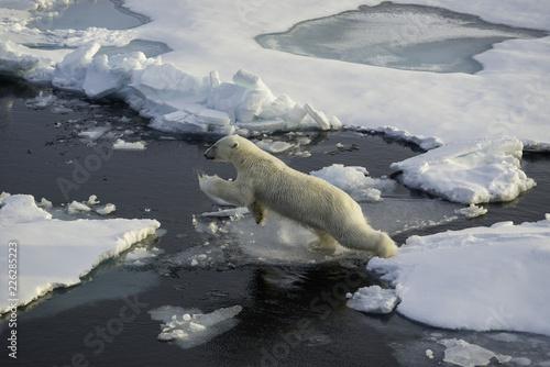 Polar bear on the ice floe, Arctic Ocean, north of Svalbard