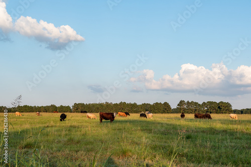 Valokuva  Beef cattle in late afternoon pasture - Landscape vivid