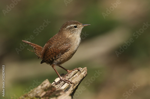 Cuadros en Lienzo A Wren (Troglodytes troglodytes) perched on a log in woodland.