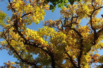 Jesień - gałęzie żółtymi liśćmi na tle błękitnego nieba