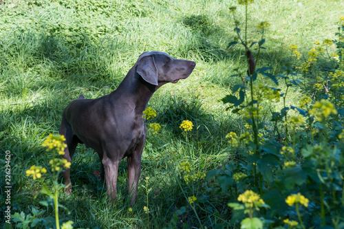 Vorstehhund wittert Wild