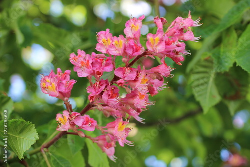 Photo Aesculus carnea - Red Chestnut - Marronnier rouge