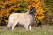 canvas print picture - Portrait of nice belgian shepherd dog