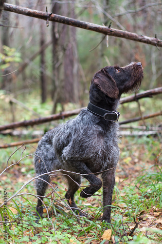 hunting dog while hunting in a pine forest