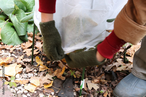 Woman gardener's hands covering of a cultivar yak Rhododendron (Rhododendron yakushimanum 'Fantastica') with a spunbond cover from frost in the autumn garden