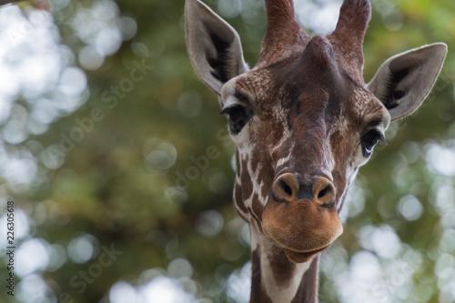 Deurstickers Giraffe Kopf einer Giraffe, frontal