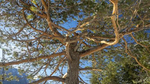 Fotografia, Obraz  Branches tortueuses de couleur ocre-jaune au sommet d'un pin sylvestre (Pinus sy