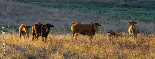 Photo young cattle in the pasture