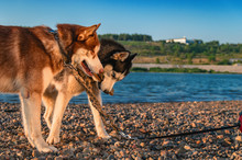 Siberian Husky Dogs Play On Th...