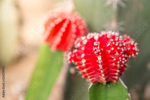 Aluminium Prints Dahlia Beautiful red cactus