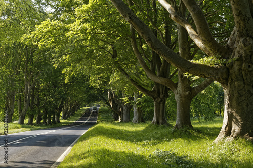 beech trees in the sun in Dorset, England