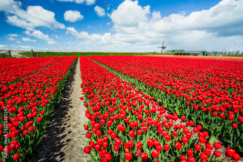 Fields of red tulips surround the typical windmill Berkmeer municipality of Koggenland North Holland The Netherlands Europe