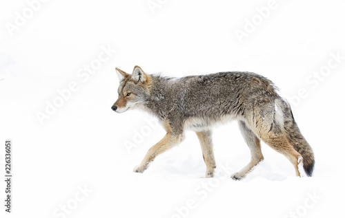 Fotografía A lone coyote (Canis latrans) isolated on white background walking and hunting i