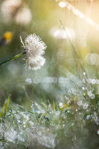 Cadres-photo bureau Pissenlits et eau Frisches Gras an einem Herbstmorgen, Morgentau
