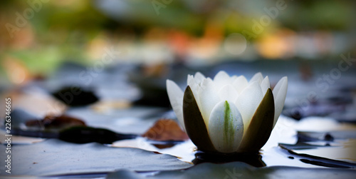 Wall Murals Water lilies White Lotus flower - a water lily on a dark background.
