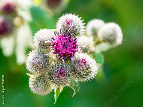 Photo Blooming Burdock Plant Flower Medicinal Herb Close-up