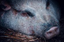 Portrait Of Sleeping Pig