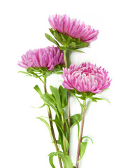 beautiful aster flower closeup