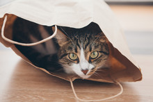 A Striped Cat Sits Inside A Pa...