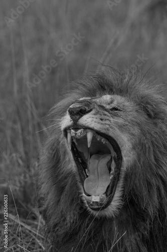 Fototapety, obrazy: Lion Teeth