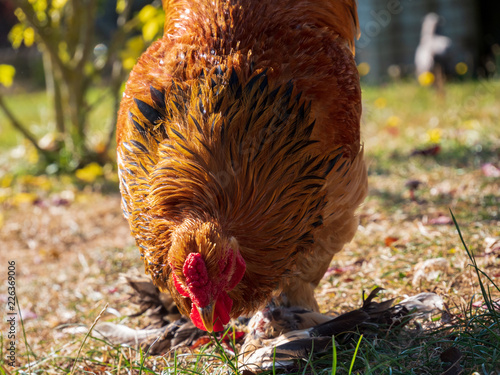 beautiful colored chicken in save and nice outside environment